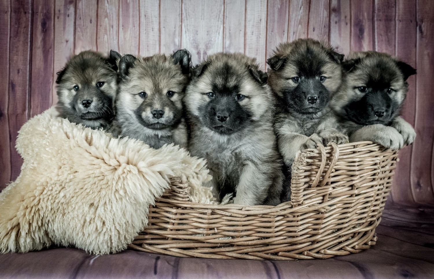 Five German shepherd puppies in a wooden basket.
