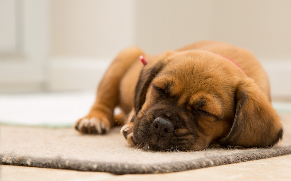 A short-haired brown puppy sleeping soundly on a small rug.