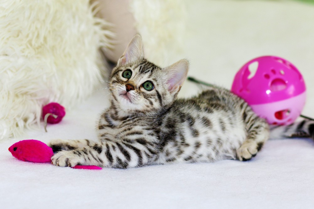 A kitten surrounded by toys.