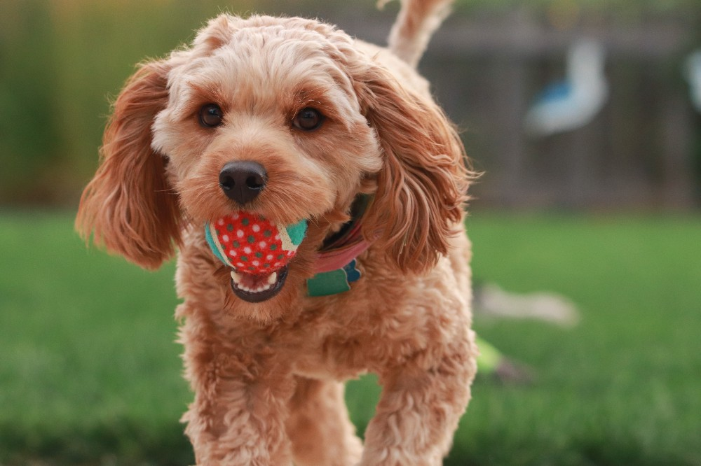 A small Cavapoo plays fetch with its owner. It's shown bringing the tennis ball back to the thrower.