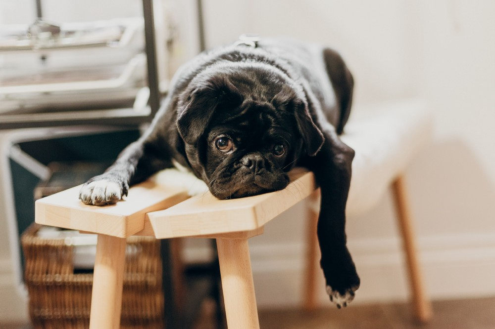 A pug who appears to be bored and resting on a wooden bench.
